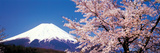 Mt Fuji Cherry Blossoms Yamanashi Japan Reproduction photographique