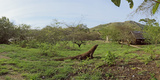 Komodo Dragon (Varanus Komodoensis) in a Field, Rinca Island, Indonesia Photographic Print