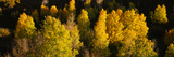 High Angle View of Aspen Trees in a Forest, Telluride, San Miguel County, Colorado, USA Photographic Print