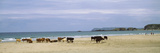 Cows on the Beach, White Rocks Bay, County Antrim, Northern Ireland Photographic Print
