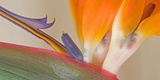 Strelitzia in Bloom, California, USA Photographic Print