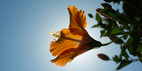 Close-Up of a Hibiscus Flower in Bloom, Oakland, California, USA Photographic Print
