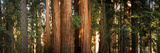 Redwood Trees in a Forest, Sequoia National Park, California, USA Photographic Print