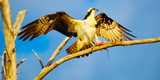 Osprey (Pandion Haliaetus) with Spread Wings Perching on a Branch Reproduction photographique