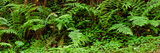Ferns in Front of Redwood Trees, Redwood National Park, California, USA Photographic Print