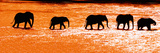 Herd of African Elephants (Loxodonta Africana) Crossing the River, Uaso Nyiro River Photographic Print