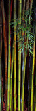 Close-Up of Bamboos, Kanapaha Botanical Gardens, Gainesville, Florida, USA Photographic Print