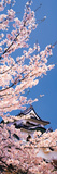 Hikone Castle W\Cherry Blossoms Shiga Japan Photographic Print