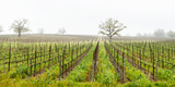 Oak Trees in a Vineyard, Guerneville Road, Sonoma Valley, Sonoma County, California, USA Photographic Print
