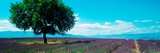 Lavender Field, Provence-Alpes-Cote D'Azur, France Photographic Print