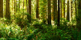 Ferns and Redwood Trees in a Forest, Redwood National Park, California, USA Photographic Print