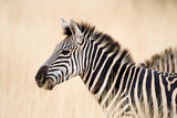 Close-Up of a Burchell's Zebra (Equus Burchelli), Ngorongoro Crater, Ngorongoro, Tanzania Photographic Print by Green Light Collection