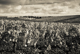 Chateau Lafite Rothschild Vineyards in Autumn, Pauillac, Haut Medoc, Gironde, Aquitaine, France Photographic Print by Green Light Collection