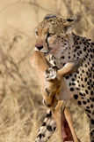 Cheetahs (Acinonyx Jubatus) and Prey, Samburu National Park, Rift Valley Province, Kenya Photographic Print by Green Light Collection