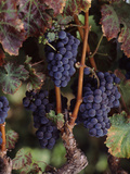 Cabernet Sauvignon Grapes in Vineyard, Wine Country, California, USA Lámina fotográfica por Green Light Collection
