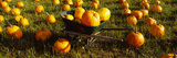 Wheelbarrow in Pumpkin Patch, Half Moon Bay, California, USA Photographic Print