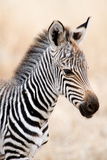 Close-Up of a Burchell's Zebra (Equus Burchelli), Ngorongoro Crater, Ngorongoro, Tanzania Fotografisk tryk af Green Light Collection