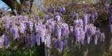 Wisteria Flowers in Bloom, Sonoma, California, USA Photographic Print