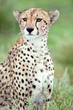 Close-Up of a Female Cheetah (Acinonyx Jubatus) in a Forest, Ndutu, Ngorongoro, Tanzania Fotografisk tryk af Green Light Collection