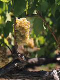 Chardonnay Grapes in Vineyard, Carneros Region, California, USA Photographic Print by Green Light Collection