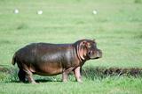 Hippopotamus (Hippopotamus Amphibius) in a Field, Ngorongoro Crater, Ngorongoro, Tanzania Photographic Print by Green Light Collection