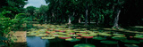 Lily Pads Floating on Water, Pamplemousses Gardens, Mauritius Island, Mauritius Photographic Print