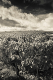 Chateau Lafite Rothschild Vineyards in Autumn, Pauillac, Haut Medoc, Gironde, Aquitaine, France Lámina fotográfica por Green Light Collection