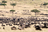 Great Migration of Wildebeests, Masai Mara National Reserve, Kenya Photographic Print by Green Light Collection