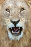 Close-Up of a Lion (Panthera Leo) Yawning, Masai Mara National Reserve, Kenya Photographic Print by Green Light Collection