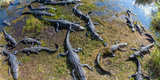 Alligators Along the Anhinga Trail, Everglades National Park, Florida, USA Photographic Print by Green Light Collection