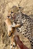 Cheetahs (Acinonyx Jubatus) and Prey, Samburu National Park, Rift Valley Province, Kenya Photographic Print by Green Light Collection