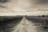 Vineyards in Autumn, Pauillac, Haut Medoc, Gironde, Aquitaine, France Photographic Print by Green Light Collection