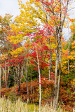Colorful Trees in the Forest During Autumn, Muskoka, Ontario, Canada Reproduction photographique par Green Light Collection