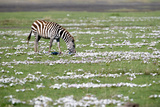Burchell's Zebra (Equus Burchelli) Grazing in a Field, Ngorongoro Crater, Ngorongoro, Tanzania Photographic Print by Green Light Collection