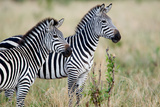 Two Burchell's Zebras (Equus Burchelli) in a Forest, Tarangire National Park, Tanzania Fotografisk tryk af Green Light Collection