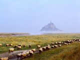 Flock of Sheep in a Field with Mont Saint-Michel Island in the Background, Manche Fotoprint van Green Light Collection