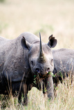 Black Rhinoceros (Diceros Bicornis) Standing in a Field, Masai Mara National Reserve, Kenya Photographic Print by Green Light Collection