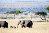 African Elephant (Loxodonta Africana) with its Calf Walking in Plains Photographic Print by Green Light Collection