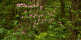Rhododendron Flowers and Redwood Trees in a Forest, Del Norte Coast Redwoods State Park Photographic Print by Green Light Collection