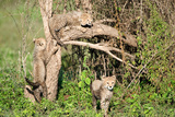 Cheetah Cubs (Acinonyx Jubatus) Climbing a Tree, Ndutu, Ngorongoro, Tanzania Photographic Print by Green Light Collection