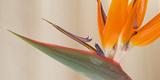 Strelitzia in Bloom, California, USA Photographie par Green Light Collection