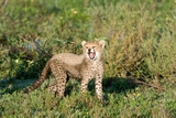 Cheetah Cub (Acinonyx Jubatus) Yawning in a Forest, Ndutu, Ngorongoro, Tanzania Photographic Print by Green Light Collection