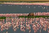 Cape Buffalo and Lesser Flamingos Photographic Print by Green Light Collection