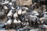 Wildebeests Crossing a River, Mara River, Masai Mara National Reserve, Kenya Photographic Print by Green Light Collection