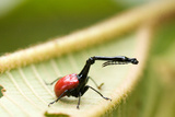 Close-Up of a Giraffe Weevil (Trachelophorus Giraffa) on a Leaf Photographic Print by Green Light Collection