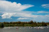 Flamingos in a Lake, Parc Ornithologique Du Pont De Gau, D570, Camargue, Bouches-Du-Rhone Photographic Print by Green Light Collection