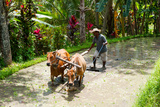 Farmer with Oxen Working in Paddy Field, Rejasa, Penebel, Bali, Indonesia Photographic Print by Green Light Collection