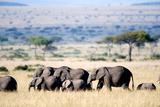 Herd of African Elephants (Loxodonta Africana) in Plains, Masai Mara National Reserve, Kenya Photographic Print by Green Light Collection