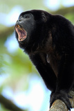 Close-Up of a Black Howler Monkey (Alouatta Caraya), Costa Rica Photographic Print by Green Light Collection