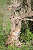 Cheetah Cubs (Acinonyx Jubatus) with their Mother in a Forest, Ndutu, Ngorongoro, Tanzania Photographic Print by Green Light Collection